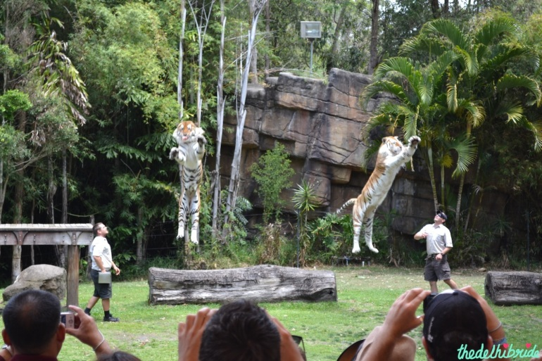 Perfectly coordinated tiger show